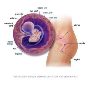 6. týden těhotenství